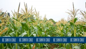 Photo of corn stalks with blue logo stripe at the bottom