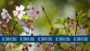 Photo of cherry blossoms with blue logo stripe at the bottom